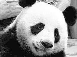 旅泰大熊猫创创死亡结果通报 气管无异物心力衰竭