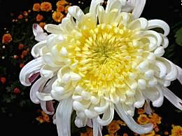 描写菊花的优美句子段落 赞美的菊花的优美作文