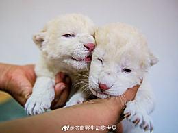 济南双胞胎白狮长什么样?珍稀程度堪比大熊猫