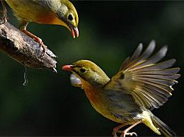 科学家首次向鸟类植入记忆 开口就会唱新歌