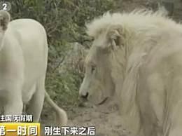 罕见双胞胎白狮出生 孩子太漂亮狮爸狮妈有点懵