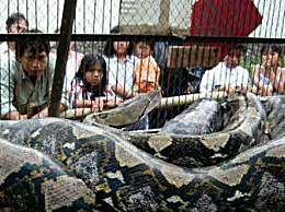 世界上最大的蛇 身长19米能吞下一条鳄鱼
