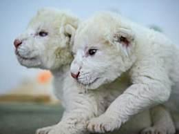 济南双胞胎白狮出生 憨态可掬萌化人心