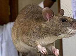 世界上最大的老鼠 体长近一米骇人听闻