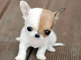 世界上最小的狗 还没有一个巴掌大