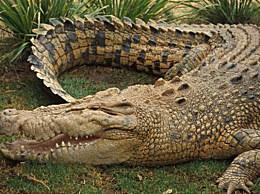 世界上最大的鳄鱼 世界最大鳄鱼最新排行榜