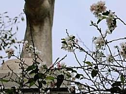 武汉樱花十月开是真的吗?樱花十月来原因是什么?