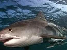 男童捕314公斤虎鲨
