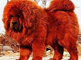 世界上最贵的狗 竟然卖到190万美金