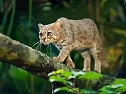 世界上最小的猫 体重仅有1公斤