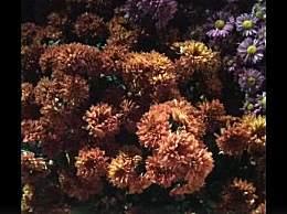 广东小榄菊花园怎么玩?小榄菊花园最佳赏菊地方推荐