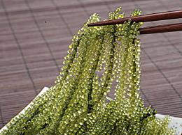 海葡萄怎么吃 海葡萄的功效作用和营养价值介绍
