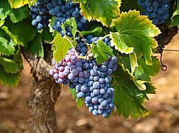 提子和葡萄有什么区别?提子有什么特点?