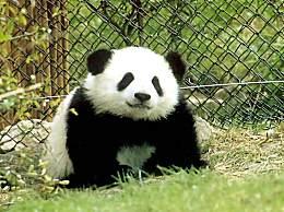 3只大熊猫公开招募认养 大熊猫怎么认养