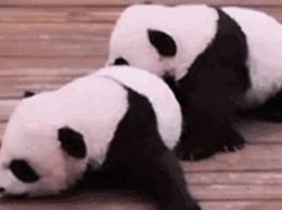 大熊猫公开招募认养