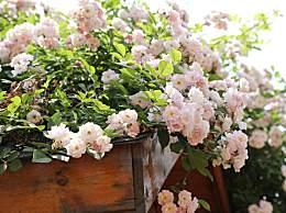 各种蔷薇花的含义