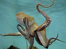 章鱼的血液是什么颜色的?为什么章鱼的血液是蓝色的