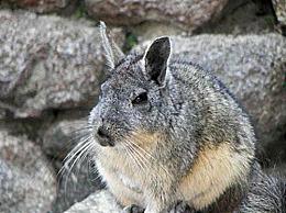 龙猫是兔子杂交的吗?龙猫是什么动物