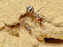 世界上最快的蚂蚁 一秒能走47步