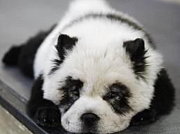 将狗染色成熊猫收费1500?怎么回事