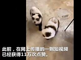 成都一宠物馆开设新业务 将狗染色成熊猫收费1500