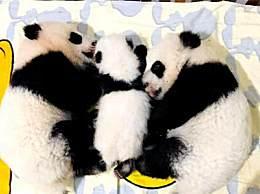 三只大熊猫宝宝全国征名 三只大熊猫宝宝名字起好了吗新进展