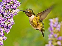 世界上最小的鸟 体型跟蜜蜂差不多大小
