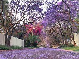 南非蓝花楹十一月去好吗?南非最佳赏蓝花楹的景点