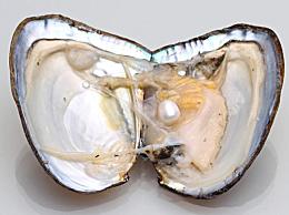 珍珠是什么动物养出来的 开了珍珠的蚌还能活吗