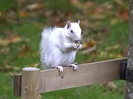 摄影师拍到罕见白化松鼠 全英仅剩50只