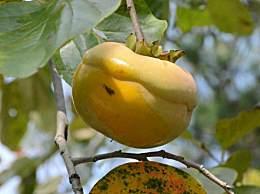 咳嗽可以吃柿子吗?吃柿子有哪些禁忌?
