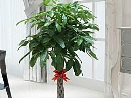 冬天养发财树有哪些窍门 冬季养发财树技巧
