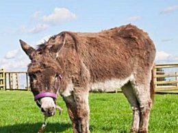 世界上最高龄驴大寿 60岁刷新吉尼斯