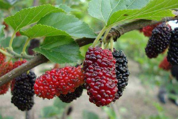 哪些水果的铁含量最高?铁含量最高水果排行榜