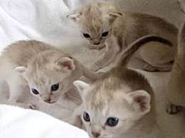 世界上最小的猫 被誉为新加坡国宝