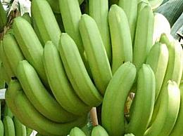 青皮熟香蕉可以吃吗 为什么香蕉皮是绿的却熟了
