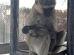 母猴生下死胎伤心欲绝 抱孩子10天不放手令人泪目