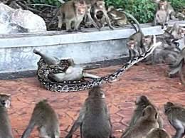泰国猴子惨被蟒蛇勒死 猴群沸腾营救伙伴