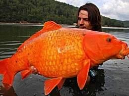 世界上最大的金鱼 体重27斤刷新世界纪录