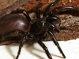 世界上最毒的的蜘蛛 它的毒液能杀死8个人