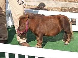 世界上最小的马 体重不到10公斤