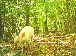 神农架罕见动物现身 白化小麂两次入镜