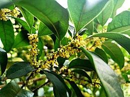 喝桂花茶有什么好处?桂花茶的功效与作用及饮用方法