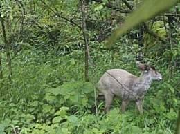 神农架再现白化动物 神农架频现百化动物太罕见