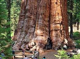 世界上最大的树 树龄超3500年当之无愧的树王