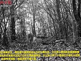 神农架拍到白化小麂影像 动物为什么会白化