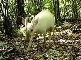 神农架现罕见动物 揭神农架动物白化之谜