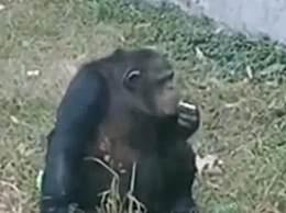 动物园黑猩猩抽烟引发热议 动物园否认