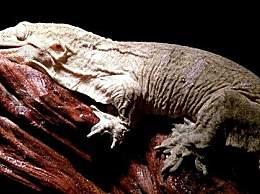 世界上最大的壁虎 身体长达2.3米