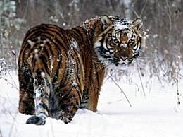 世界上最大的老虎 当之无愧的万兽之王